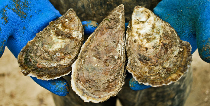 Oyster-Farm-TomPelton_695x352
